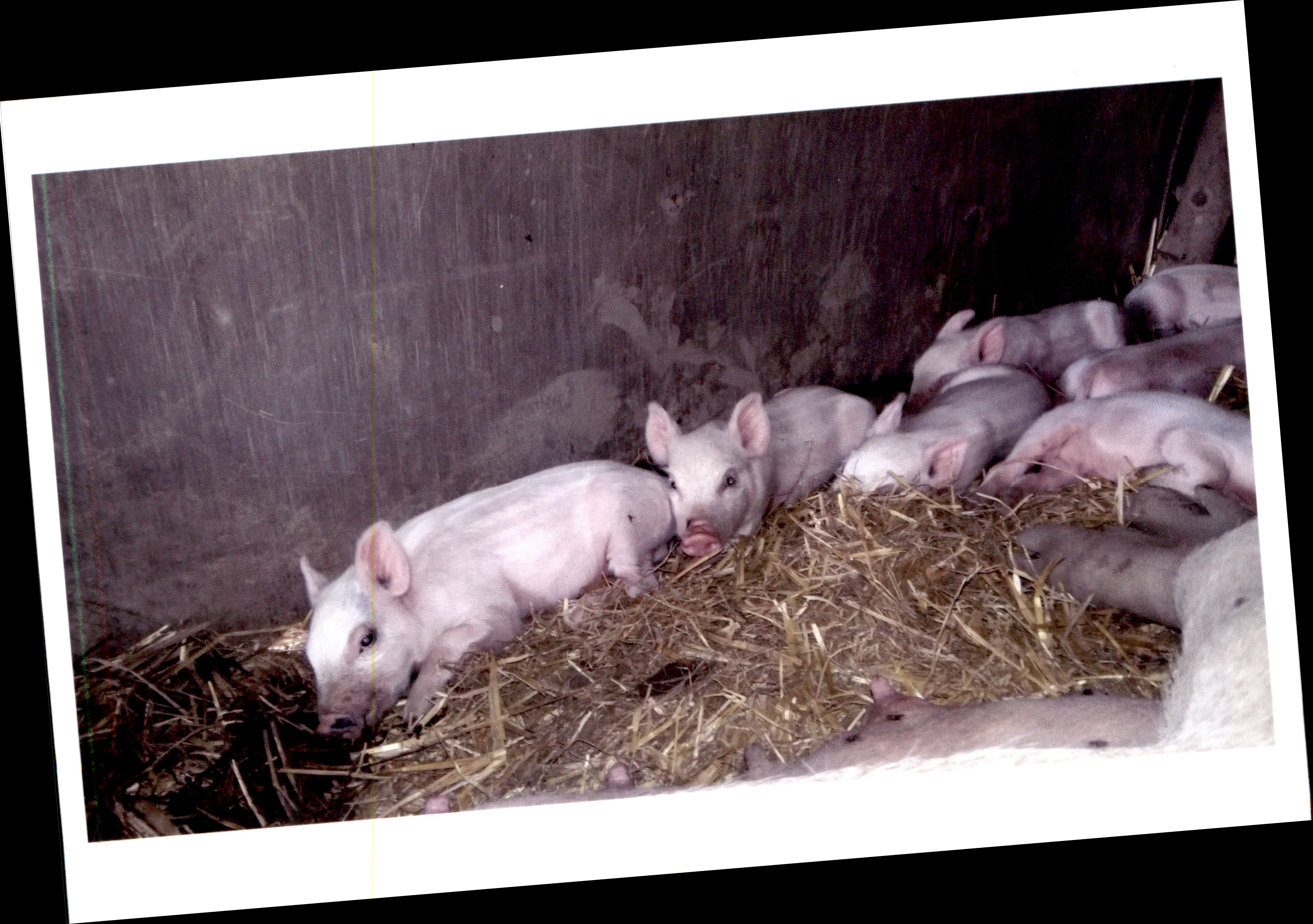 WildschweinMischlingeFoto